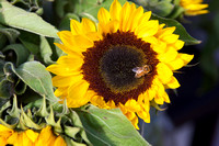 A bee on a sunflower